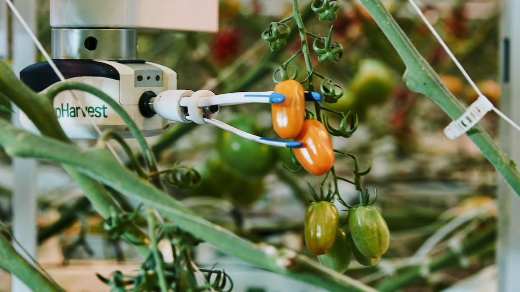 Virgo, AppHarvest's universal harvesting robot, reaches for a tomato in the company's Morehead high-tech indoor farm to gauge the fruit's quality, ripeness and size with an AI-powered scan.